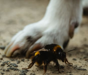 Dogs Stung by Bees