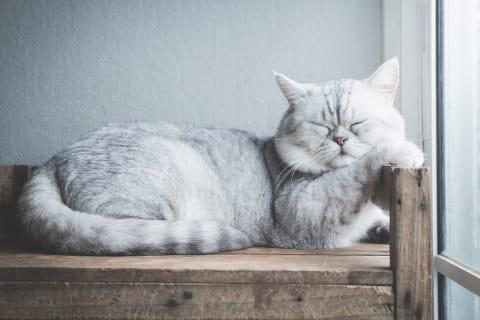 Best Indoor Cat Breeds Animal Emergency Center Memphis Vet